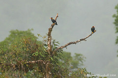 Hill Mynas (Michael Woodruff) Tags: wild bird nature birds animal asia wildlife hill birding feathers starling sarawak malaysia borneo tropics myna hillmyna graculareligiosa gracula