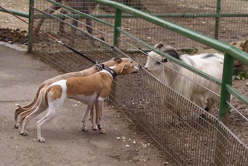 Tiergarten Nymphea: Nisha und Coco im Gespräch mit einer Hausziege
