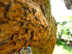 Olivo II (Filor) Tags: light rome roma macro tree canon spring europa europe day zoom olive powershot 25 di trunk papa capitale aprile botany albero tronco rocca castelli olivo ulivo fusto g9 filor