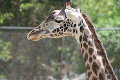 Giraffe (monstercard) Tags: animals zoo giraffe ourkentucky