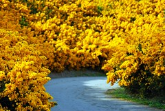 Yellow Furze Road  Blainroe Co. Wicklow (murtphillips) Tags: may 2008 wicklow furze naturesfinest blainroe martinphillips