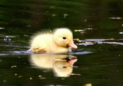 little duckling (yorkiemimi) Tags: reflection nature water animal yellow duck wildlife