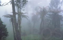 Tree ferns in the fog, southern Brazil (Pterodactylus69) Tags: brazil fern brasil forest selva brasilien bosque araucaria wald mata riograndedosul farn treefern regenwald baumfarn mataatlantica dicksonia serrageral atlanticrainforest promata araukaria atlantischerregenwald mataaraucaria araukarienwald