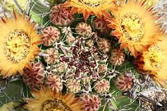 Ferocactus (Runabout63) Tags: ferocactus cacti cactus flower spine