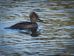 Hooded Merganser (1 of 1) (DavidGuscottPhotography) Tags: