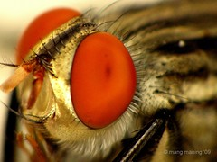 My Eyelash is Much Beautiful than Yours, People (mang M) Tags: insect fly eyelash pinoy langaw compoundeyes insekto kodakero pinoymacro mangmaning2000
