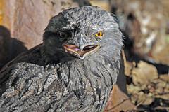 featherdale8.jpg (picsie14) Tags: animals interestingness interesting wildlife sydney australia nsw featherdale 80400mm australiananimals interestingness2 longlens d700 nikond700