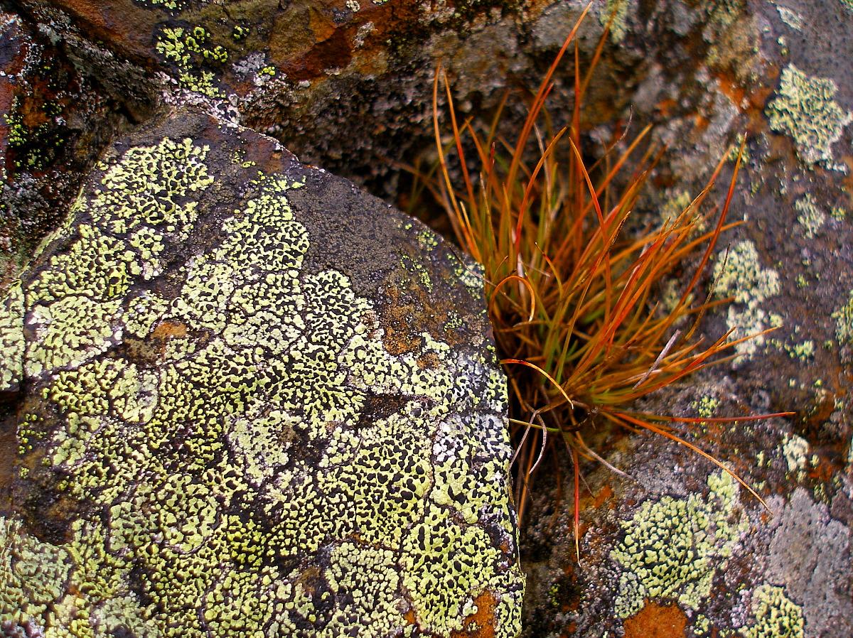Signal Hill Lichen
