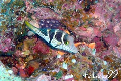 Saddled Puffer at Kerama Island, Okinawa