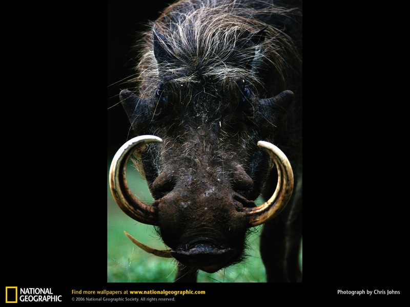 warthog-portrait.jpg