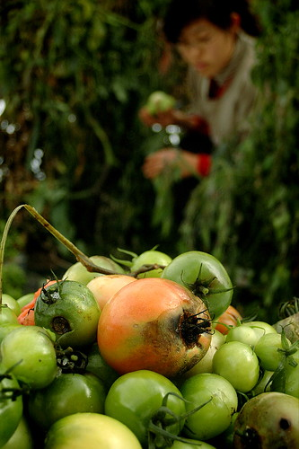Saving the Green Tomatoes
