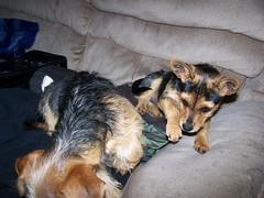 They love to sit on my stuff.... (bonkrood) Tags: puppy bubba jinx chorkie
