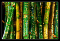 """Message Sticks"" (Albury Botanic Gardens Bamboo n 1) (heritagefutures) Tags: copyright jason david love brad gardens writing jack gold graffiti photo nikon jen heart paddy name valentine bamboo mel explore jasmin nsw winner vandalism botanic hayden names hr thumbsup faceoff eliza haydn botanicgarden marking inscriptions dirk gitzo memento bambu allrightsreserved scratching bambus albury loveheart d80 spennemann nikond80 messagesticks photofaceoffwinner photofaceoffplatinum pfogold pfochallengegold heritagefutures alburybotanicgardens dirkhrspennemann heritagefuturesallrightsreserved copyrightdirkhrspennemann ausphoto"
