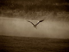 heron-flight-sepia1 (jormook) Tags: