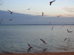 IMG_0235 (caro_801) Tags: texas gulls feedingthebirds lakebuchanan