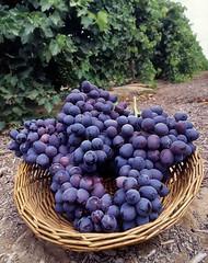 A New Seedless Grape (uhuru1701) Tags: food color yummy colorful purple grapes crops agriculture grape publicdomain usda foodgroups