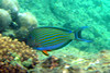Lined Surgeonfish on Koh Ngai Island