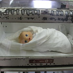 Creepy baby in old incubator thumbnail
