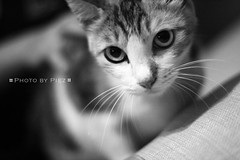 G0384 (Piez ) Tags: bw pet cat kat feline chat gato neko katze  gatto  kot         superbmasterpiece theunforgettablepictures goldstaraward flickrlovers unamourdechat