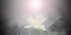 Lotus Flower - IMGP7691-fl - , , ,  , Fleur de Lotus, Lotosblume, , , (Bahman Farzad) Tags: china india inspiration flower macro fleur yoga tattoo de thailand truth cambodia peace lotus blossom relaxing calming peaceful teacher national sacred meditation therapy budha elegant inspirational spiritual simple hindu soulful heavenly buda tatto peacefulness devine indias   lotusflower therapist lotusflowers lotuspetal  lotuspetals  lotosblume   soulfulflower lotusflowerpetals lotusflowerpetal