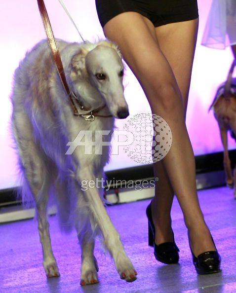 new york city dog pet fashion week russian borzoi wolfhound