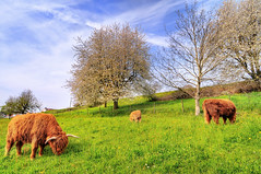 Grazing Highland cows (Tambako the Jaguar) Tags: flowers trees yak baby grass animal landscape mammal switzerland cow spring nikon view cattle eating farm swiss flag perspective horns scottish wideangle longhorns longhorn 12mm calf highlandcattle hdr grazing longhairs sulzbach d300 bloomingtrees photomatix uster aplusphoto photofaceoffwinner pfogold bertschikon