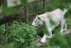White Tiger - Colchester Zoo (Hani London) Tags: uk zoo nikon tiger whitetiger colchesterzoo d80