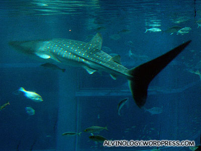 The full length of the magnificent whale shark