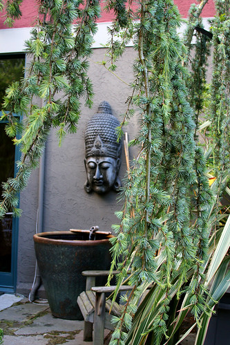 buddha and weeping cedar