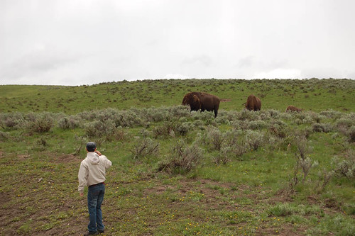 guy too close to bison yellowstone
