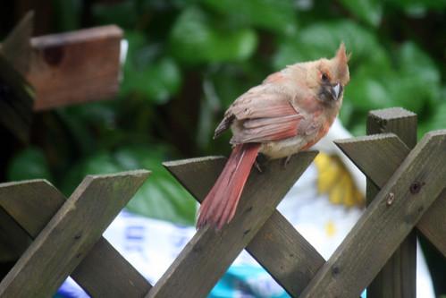 juvenile cardinal 071