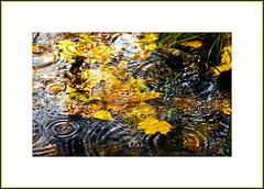...another rainy day... (mixerus) Tags: autumn water rain leaf pond october naturesfinest mywinners ysplix