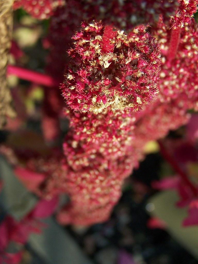 amarantus purpurowe zboże XXI wieku wartość odżywcza zdrowie
