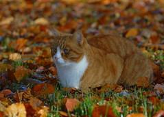 Muffi (Mats&Muffi) Tags: orange pet cats pets animal cat orangecat nikon tabby kitty d200 muffi cc100 kissablekat