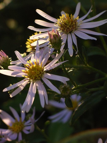 Asters.  Foto: sigusr0, Creative Commons License