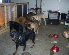 Playtime (muslovedogs) Tags: treats mastiff rottweiler sage zeus playtime excalibur canecorso mylady mastweiler