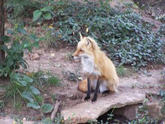 Dickerson Park Zoo - Springfield, MO (Adventurer Dustin Holmes) Tags: nature animal animals fox foxes 0000001 predators redfox mammel foxs dickersonparkzoo mammels