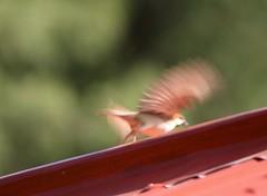 Tum Raho bas Hum to Apnay Ghar Chalay (NotMicroButSoft (Fallen in Love with Ghizar, GB)) Tags: nature birds searchthebest ak aves kashmir ajk azadkashmir banjosa spanishsparrow pakisatn avianfauna