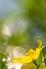 Expressionistic Flower (olvwu | 莫方) Tags: usa yellow ga georgia yellowflower savannah ludwigia jungpangwu oliverwu oliverjpwu promisewillow olvwu jungpang 莫方 吳榮邦