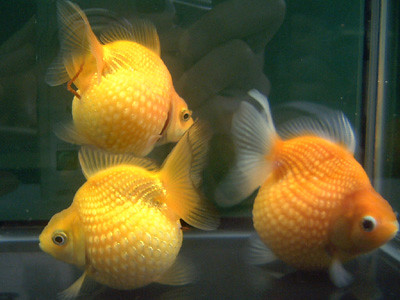 Today I went out and bought myself 2 Pearlscale Goldfish.