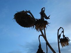 sunsetflower2 (big-diehl) Tags: blue sky cold dead sunflower wilting sunsetflower