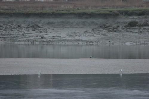 Si si, la tache sur le banc de sable, un Phoque veau marin