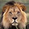 Lion. King Lion, African Lion (gsb_viva) Tags: superb unique class lions wildanimals natureanimals shaani beautifulcapture superbshot wildbeauties gsbviva uniqueclass superbclass
