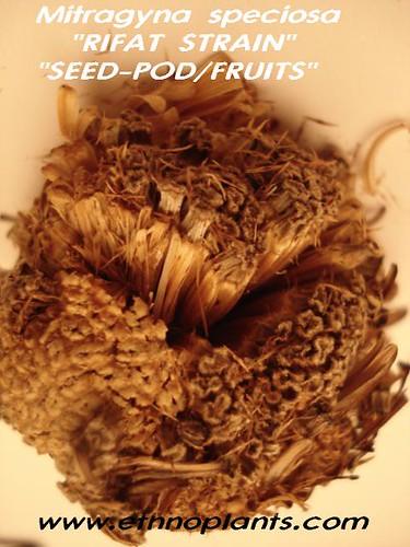 Kratom  rifat seeds_pods03 picture photo bild