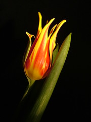 Fiery flower (jo92photos) Tags: red england flower macro yellow spring tulip extremecloseup bloom flowerpower fujis7000 naturalforms closerandclosermacro allrightsreserved springbulb fantasticflower platinumphoto anawesomeshot myfuji flowersandcolours excellentphotographerawards heartaward jo92 onlynatureaward challengegamewinner clairobscurdarknesslight tuliop mymagicyellowdress jo92photos