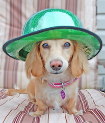 Green Hat (Doxieone) Tags: dog cute green english hat st interestingness chair long day cream dachshund explore deck honey blonde exploreinterestingness patricks haired mostpopular coll ggg 1002 longhaired irsh honeydog explored englishcream impressedbeauty