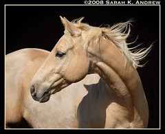 Do You Dream in Gold? (Rock and Racehorses) Tags: horse animal gold dream nj jr dilute explore quarterhorse palomino qh impressedbeauty doyoudreamingold