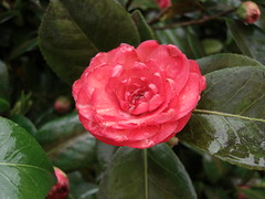 Red Camelia at Ooty