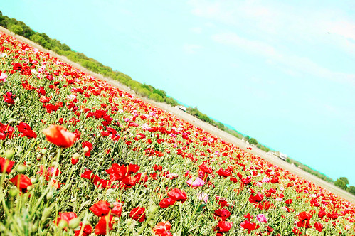 Field of Poppies copy.jpg