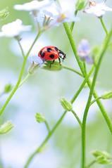 I Can't Forget (*Sakura*) Tags: blue red flower macro green japan interestingness spring explore ladybird ladybug sakura forgetmenot     sakura